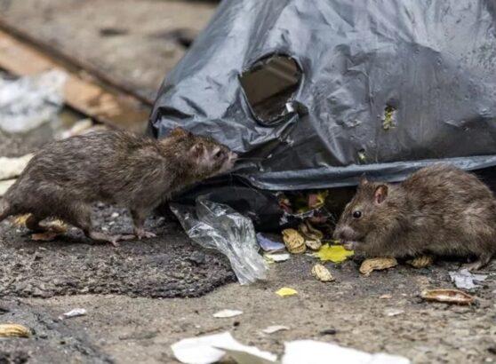 Есть ли надежное средство против крыс и мышей?